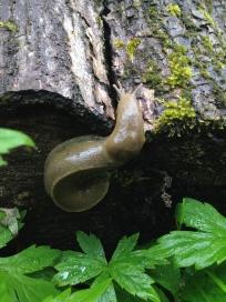 Banana slug sans spots?